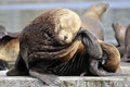 Sealion eumetopias jubatus scratching it s head Royalty Free Stock Photography