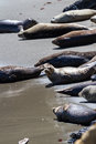 Seals on the beach alert enjoying sunshine in california coast Stock Image