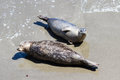 Seals on the beach alert enjoying sunshine in california coast Stock Photo
