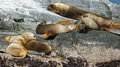 Seals beagle channel argentina colony of patagonian sea lions patagonia south america Royalty Free Stock Photography