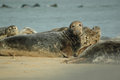 Seals colony of at horsey gap norfolk uk get close Royalty Free Stock Photography