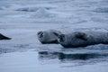 Seals on ice the iceberg of the jokulsarlon lagoon in iceland Stock Image