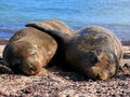 Seals in love Royalty Free Stock Photo