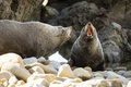 Seals in nz common on the rugged coast of kaikoura new zealand Royalty Free Stock Images