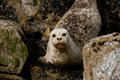 Seals relaxing on rocks near water Royalty Free Stock Photo