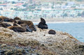 Seals sun tanning on seal island a group of bathing with mossel bay in the background Royalty Free Stock Images