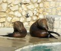 Seals two brown cleaning themseves at zoo in a hot day Stock Images