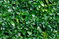 Seamless background of green laurels bay leaf natural Royalty Free Stock Photo