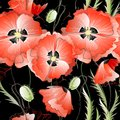 Seamless background with red poppy flowers vector pattern gentle on the black Royalty Free Stock Images