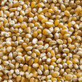 Seamless Corn kernels Texture Royalty Free Stock Photo
