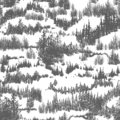 Seamless pattern with hills overgrown by evergreen coniferous forest or woodland. Backdrop with conifers grown in wild