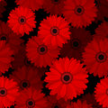 Seamless pattern with red gerbera flowers on a black background Royalty Free Stock Photo