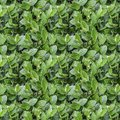 Seamless pattern texture of wet cotoneaster bush branch with green leaves and buds and water drops after rain in summer Royalty Free Stock Photo