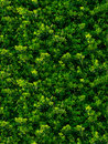Seamless texture of green leaves bush Royalty Free Stock Images