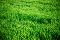 Seamless tiling medium length grass texture Royalty Free Stock Photo