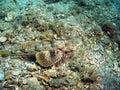 Searobin Stock Image