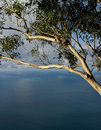 Seascape with eucalyptus tree Royalty Free Stock Photos