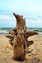 Seascape stem tree on sea seaside Royalty Free Stock Photography