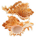 Seashell Fotos de Stock Royalty Free