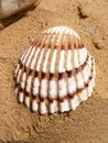 Seashell on a beach closeup of lying sandy Royalty Free Stock Photo