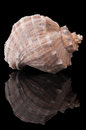Seashell on black Royalty Free Stock Photo