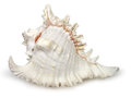 Seashell a branched murex on white Royalty Free Stock Images