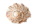 Seashell in detail isolated on white Royalty Free Stock Photo