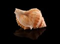 Seashell isolated on black background with reflection Stock Photo