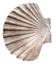 Seashell isolated on white Royalty Free Stock Photography