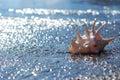 Seashell of lambis truncata on the shingle beach Royalty Free Stock Photo