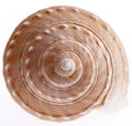 Seashell of marine snail isolated on white background, close up Royalty Free Stock Photo