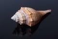 Seashell mollusk tropical shell single aquatic nature beautiful decoration spiral macro souvenir cockleshell closeup empty Royalty Free Stock Photography