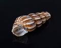Seashell mollusk tropical shell single aquatic nature beautiful decoration spiral macro souvenir cockleshell closeup empty Stock Photo