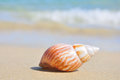 Seashell on the sea shore shell in shallow sandy beach waters waves rolling in distance shallow depth of field Stock Image
