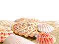 Seashell  on white Royalty Free Stock Photography