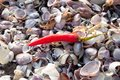 Seashells and chili pepper a lying on a pile of on beach at can gio vietnam Stock Image