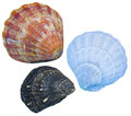 Seashells isolated seashells isolated background Royalty Free Stock Photos