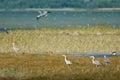 Seashore with grey herons coastal pasture in western estonia autumn migration Stock Images