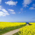 Seaside canola field way to the sea leading through a Royalty Free Stock Photography