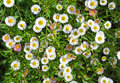 Seaside daisies in spring Royalty Free Stock Photo