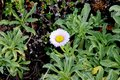 Seaside fleabane, Beach aster, Seaside daisy, Erigeron glaucus Royalty Free Stock Photo