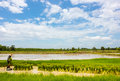 Season rice farmers Royalty Free Stock Photography