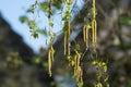 Seasonal allergy - birch tree blossom, pollen