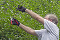 Seasonal pruning close up of a middle aged man uses small shears to prune back abundant vegetation Stock Photos
