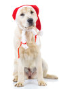 Seated labrador retriever dog wearing santa claus hat
