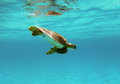 Seaturtle sea turtle underwater in curacao Royalty Free Stock Images