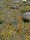 Seaweed and kelp on beach rocks, Stock Photo