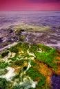 Seaweed på rocks i havet Fotografering för Bildbyråer