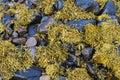 Seaweed at the sea shore Royalty Free Stock Photo