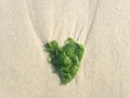 Seaweed in Shape of Heart on Long Beach, Long Island. Royalty Free Stock Photo